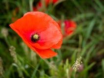 Poppy Flowering em Southwold fotos de stock