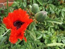 Poppy Flowering em Southwold imagem de stock royalty free