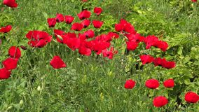 Crowded Dense Red Poppy Flowers Floriculture Field