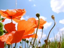 Poppy flowers Royalty Free Stock Photos