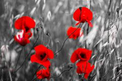 Poppy Flowers fotografia de stock royalty free