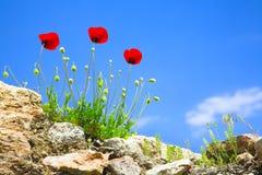 Poppy flowers Stock Images