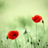 Poppy flowers Royalty Free Stock Image