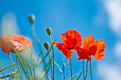 Red Poppies in Blue Sky. Red poppies blooming against a bright sunny blue sky stock image