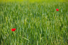 Poppy flowers Royalty Free Stock Images