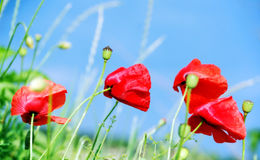 Poppy flowers. Beautiful red poppies in green field Royalty Free Stock Images