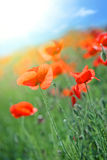Poppy flowers Stock Photos