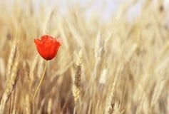 Poppy flowers. Lone poppy in wheat field Royalty Free Stock Photography
