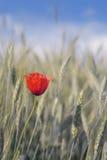 Poppy flowers. Lone poppy in wheat field Stock Image