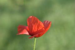 Poppy flowers. Red poppy on windy meadow Royalty Free Stock Photo