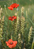 Poppy flowers. Red poppy on windy meadow Royalty Free Stock Images