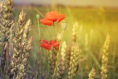 Poppy flowers. Red poppy on windy meadow Stock Photo