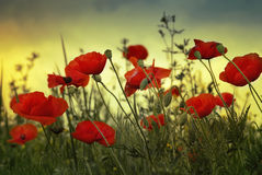 Poppy flowers. On the sky background Stock Images