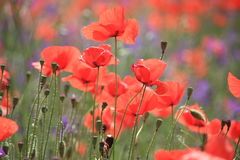 Poppies. Red poppies in Provence, France Stock Photography