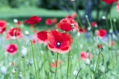 Poppy flowers. Red poppy flowers Stock Photos