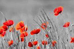 Poppy Flowers Royaltyfri Bild