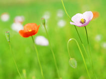 Poppy Flowers fotografia stock libera da diritti