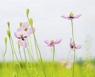 Free Poppy Flowers Stock Photos - 50354563