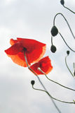 Poppy Flowers Photos libres de droits