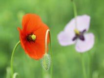 Poppy Flowers Arkivfoton