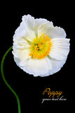 Poppy Flowers Fotografie Stock Libere da Diritti