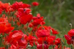 Poppy Flowers Arkivbilder