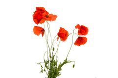 Poppy Flowers Foto de Stock Royalty Free