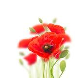 Poppy Flowers Lizenzfreie Stockfotos