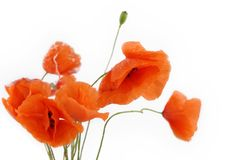Free Poppy Flowers Royalty Free Stock Image - 5968496