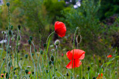 Poppy Flowers Royaltyfria Bilder
