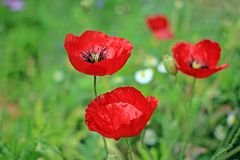 Poppy Flowers royaltyfri bild