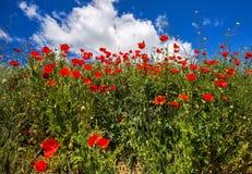 Poppy Flowers Imagens de Stock