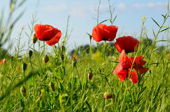Poppy Flowers Images stock