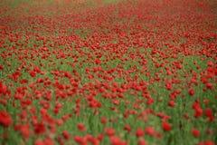Poppy Flowers Foto de Stock Royalty Free