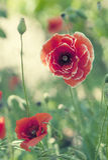 Poppy Flowers Fotos de Stock Royalty Free