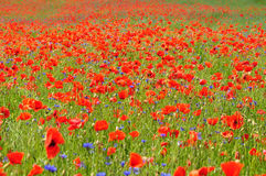 Poppy Flowers Image stock