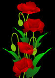 Poppy Flowers. Red poppy flowers on the black background, Vector illustration Royalty Free Stock Photography