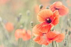 Poppy Flowers Fotografia de Stock Royalty Free