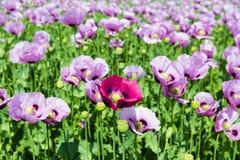 Poppy Flowers Imagen de archivo