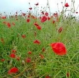 Poppy Flowers Royalty-vrije Stock Foto