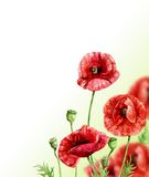 Poppy flowers. Watercolor illustration, disign for card or background Royalty Free Stock Photos