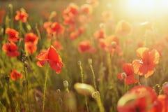 Poppy Flowers Immagini Stock Libere da Diritti
