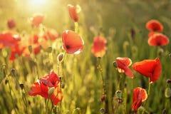 Poppy Flowers Immagine Stock