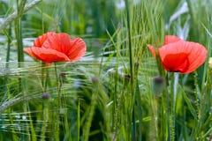 Poppy Flowers Fotografia Stock