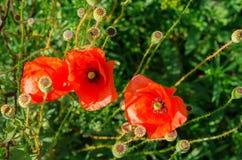 Poppy Flowers Fotos de archivo libres de regalías