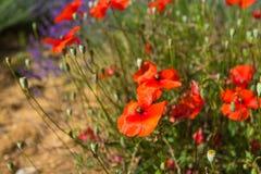 Poppy Flowers Achtergrond stock afbeelding