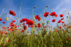 Poppy flowers against the blue sky. Flower meadow in springtime. Nature composition Royalty Free Stock Photos