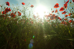 Poppy flowers against the blue sky. Flower meadow in springtime. Nature composition Stock Image