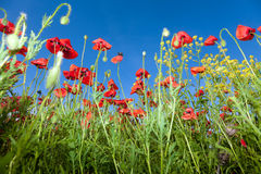 Poppy flowers against the blue sky. Flower meadow in springtime. Nature composition Royalty Free Stock Image