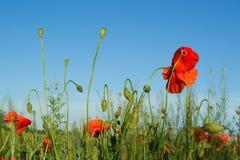 Poppy flowers. Against blue sky Stock Photo